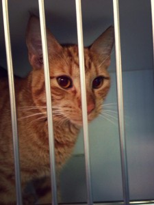 photograph of Topper in a cage at the humane society. Topper is an orange tabby.